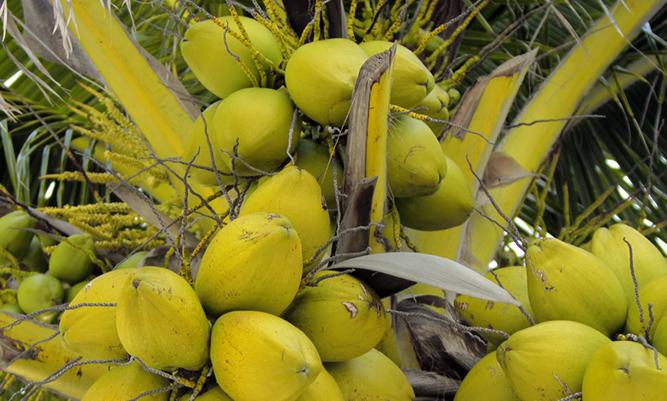 Olja från kokos